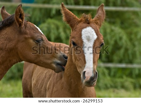Kissing colts - stock photo