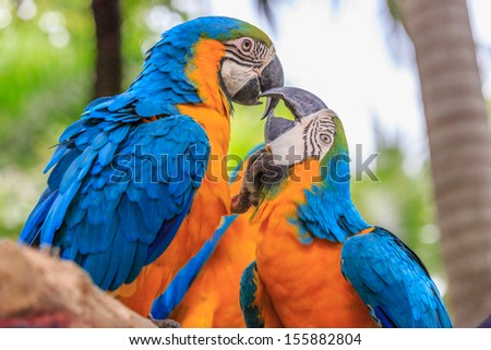 kissing of couple Blue-yellow Macaw - Ara ararauna parrot - stock photo