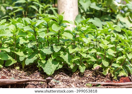 Kitchen Mint, Marsh Mint herbs in vegetable garden for background and design. Closeup green leaves of Kitchen Mint. - stock photo