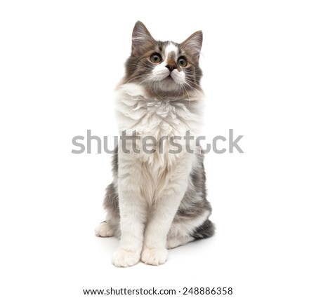 kitten (age 4.0 months) sitting isolated on white background. horizontal photo.