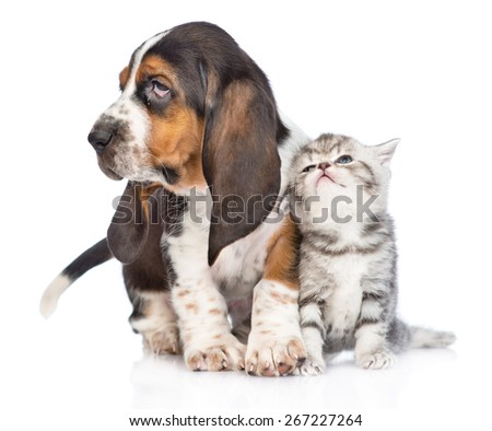 Kitten and basset hound puppy standing together. isolated on white background - stock photo