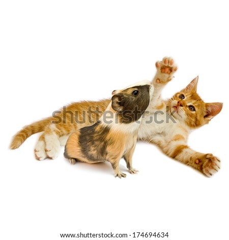 Kitten and guinea pig isolated on white background. - stock photo
