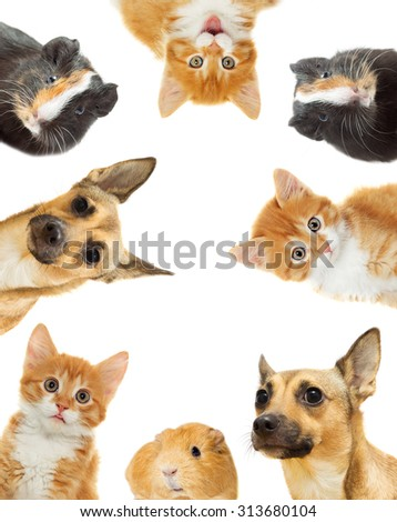 kitten and puppy and guinea pig on a white background isolated - stock photo