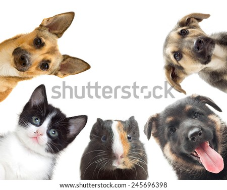 kitten and puppy and guinea pig watching - stock photo
