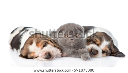 Kitten and sleeping puppies basset hound. isolated on white background