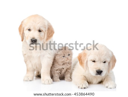Kitten between two golden retriever puppies. isolated on white background - stock photo