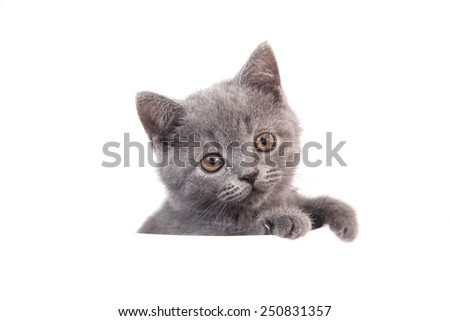 Kitten British blue gray on white background. Cat peeking from behind. Two months.