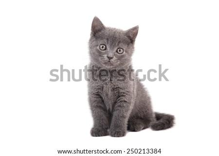 Kitten British blue on white background. Cat sitting. Two months. - stock photo