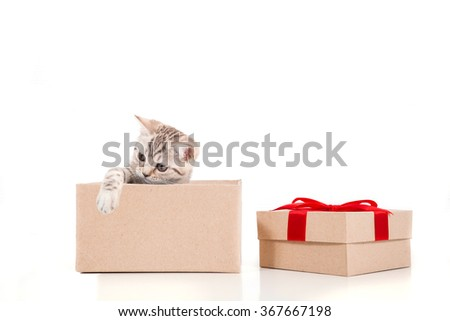 Kitten British brown tabby on white background. Cat peeking from behind gift box. Two months. - stock photo