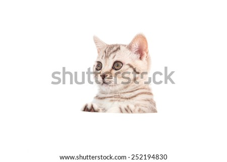 Kitten British brown tabby on white background. Cat peeking from behind. Two months. - stock photo