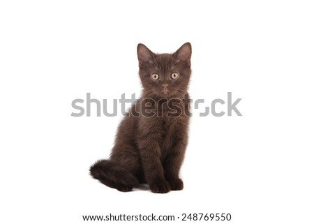 Kitten British chocolate brown on white background. Two months. - stock photo