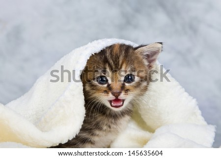 Kitten closed in towel warm sleepy small white - stock photo