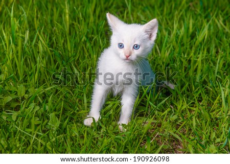kitten cute cat with blue eyes, white on green grass pet