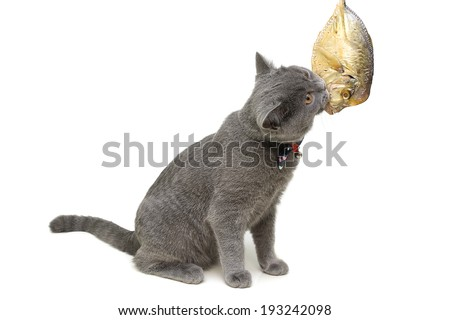 kitten eats fish on a white background close-up. horizontal photo. - stock photo