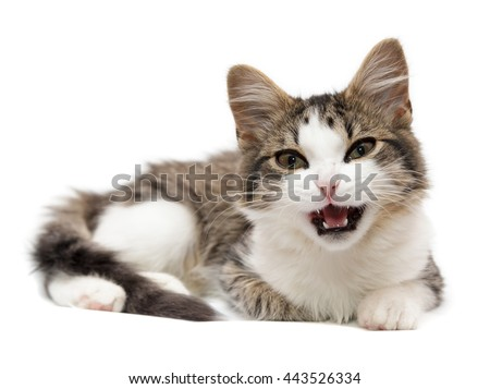 kitten has opened a mouth on a white background - stock photo