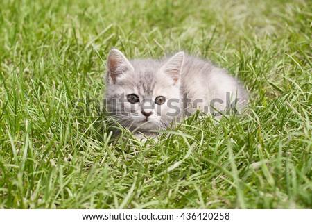 kitten hiding in the grass - stock photo