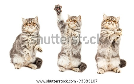 Kitten in different poses. Exotic short-haired kitten. Color blue tabby spotty