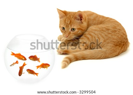 Kitten is watching fish in a fish bowl - stock photo