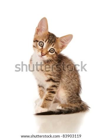 kitten isolated on white background - stock photo