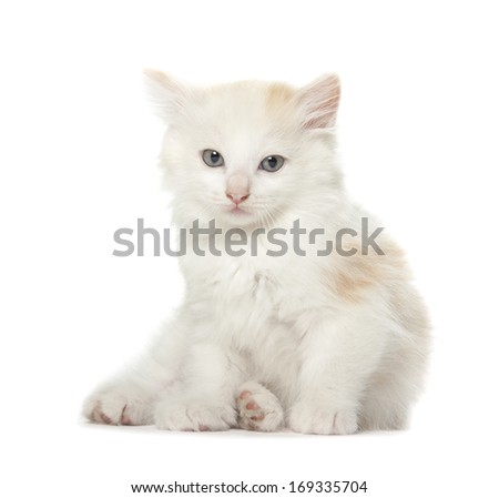 kitten isolated over white background - stock photo