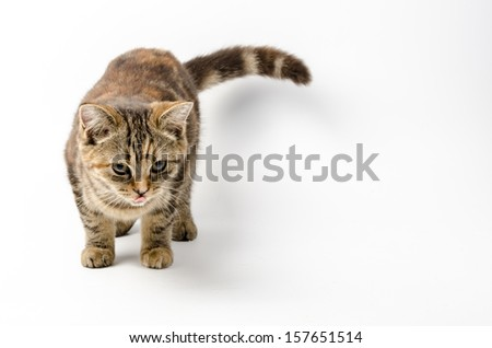 Kitten Isolated White background