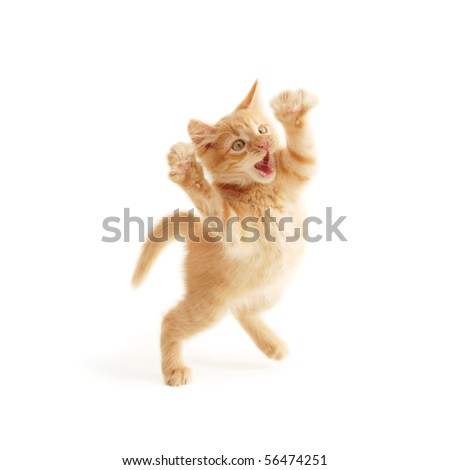 kitten jumping isolated on white background