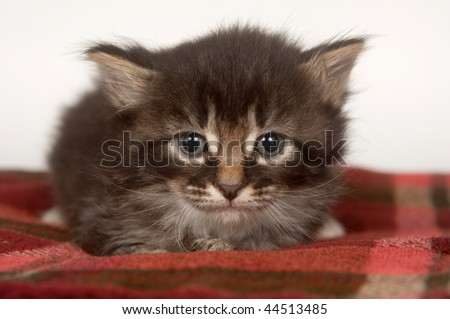 Kitten laying down and resting on red blanket with white background