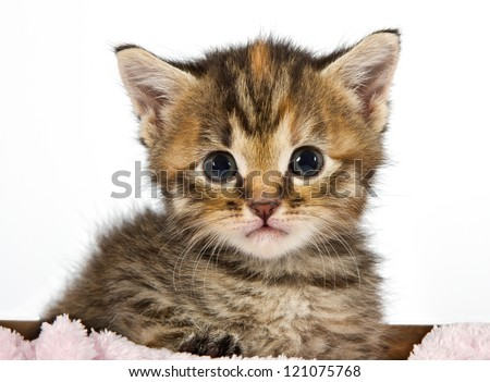 Kitten looking  adorable and cute sitting in a box with a pink blanket - stock photo