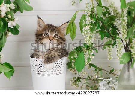 Kitten Maine Coon in a pot