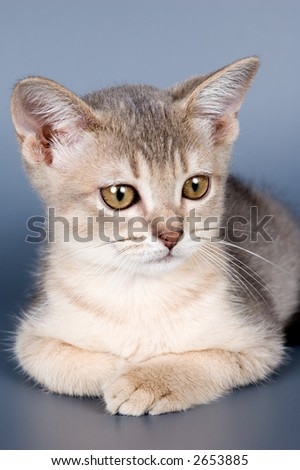 Kitten of Abyssinian breed in studio