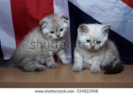 kitten of British breed Against the background of the flag