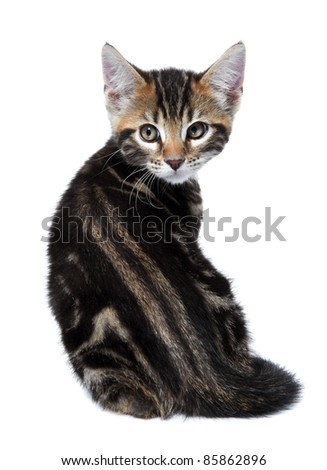 Kitten of the Metis breed ( Bengal + Maine Coon). Age - 2 month. Rare coloring - a marble - stock photo