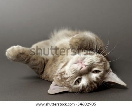 kitten on a gray background (breed - kurilian bobtail) - stock photo