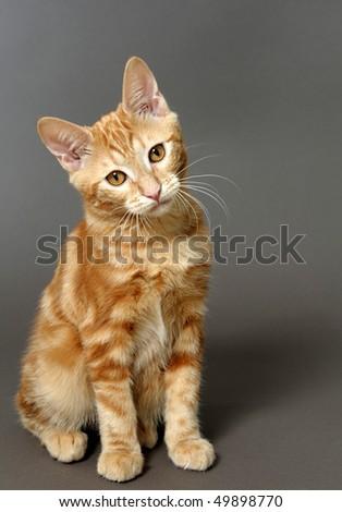 kitten on a gray background (breed - kurilian bobteil) - stock photo