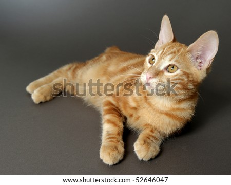 kitten on a gray background (breed - kurilian bobteil)