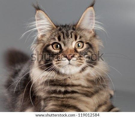 Kitten on a gray background. Maine Coon - stock photo