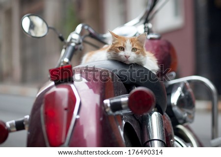 kitten on vintage red motorbike - stock photo