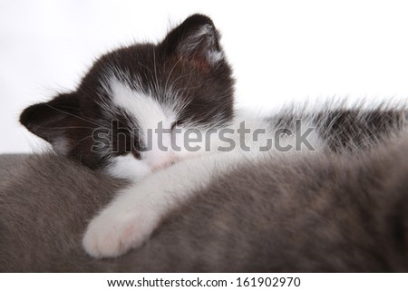 Kitten on White Background Looking Adorable