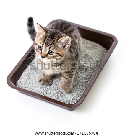 kitten or cat in toilet tray box with absorbent litter isolated - stock photo