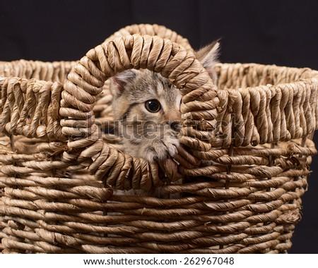 Kitten Peeking Through Basket in Studio - stock photo