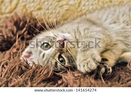 Kitten playing - stock photo