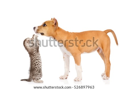 Kitten playing with stafford puppy. isolated on white background