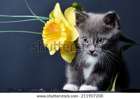 Kitten playing with yellow flower on an isolated black background - stock photo