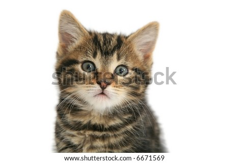 Kitten 'Portrait' isolated on white - stock photo