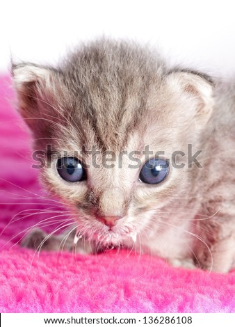 Kitten Portrait. Little cat. Kitten staring at the camera with a funny face.