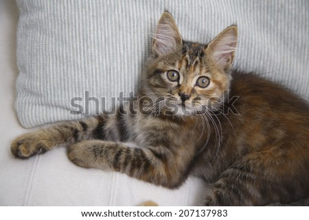 Kitten Relaxing On The Sofa
