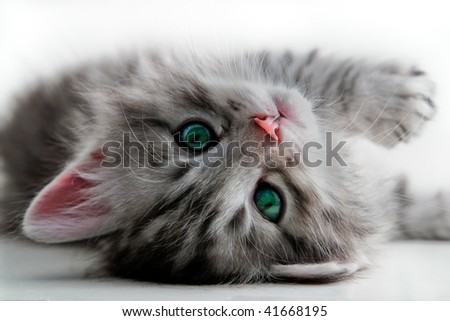 Kitten rests - isolated