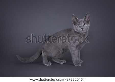 kitten Russian blue cat isolated on a colored background