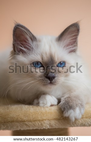 Kitten Sacred Birman on beige pink background