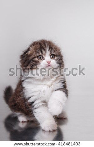 Kitten scottish fold breed on a color background